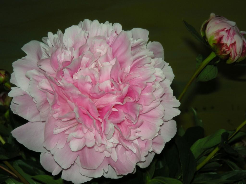 pioen-roos