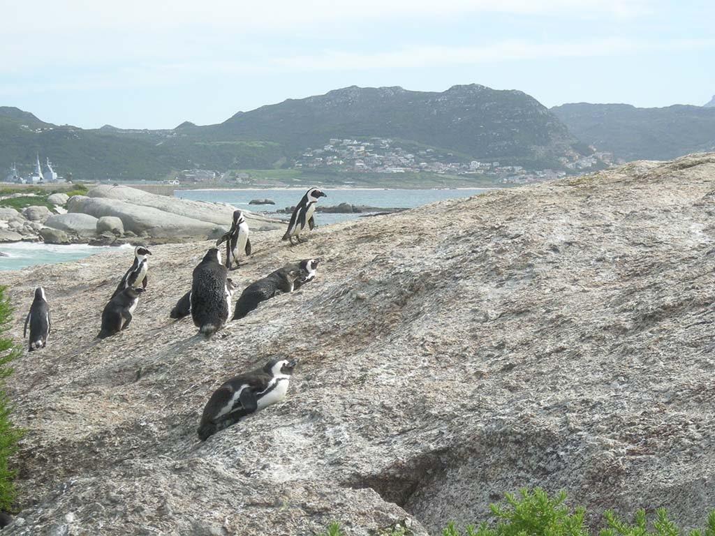 Simons Town Kaaps schiereiland pinguïns kijken© Wilma Lankhorst