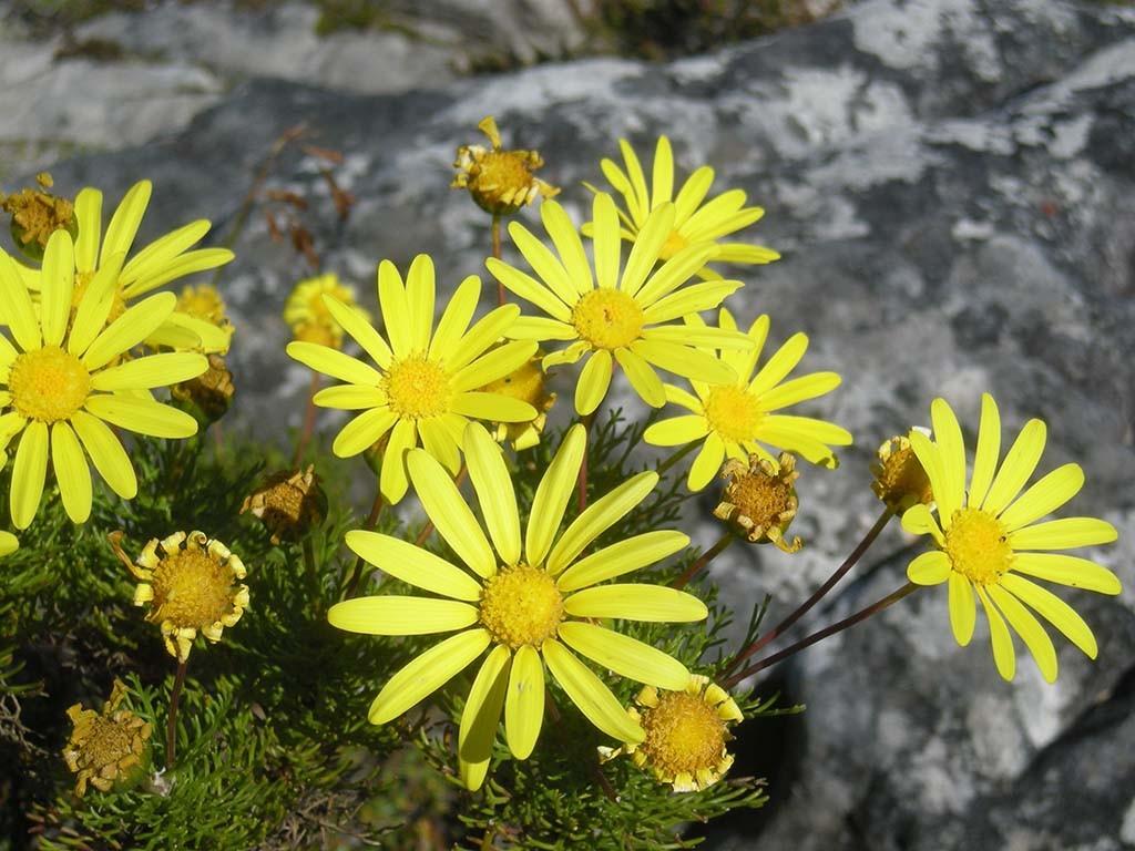 de eerste voorjaarsbloemen in Nationaal Park West Coast in Zuid-Afrika © Wilma Lankhorst