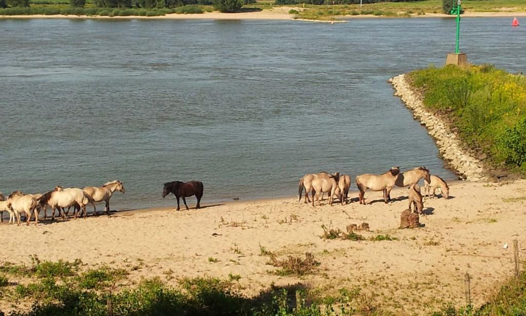 Ooij konikpaarden © foto Wilma Lankhorst
